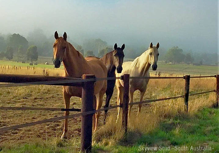 Three Quarter Horses at Skyview Stud (South Australia)